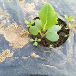 ブロッコリー・キャベツ・ほうれん草の苗作り(赤ちゃん作り)