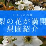 梨の花が満開 白くて綺麗な花紹介