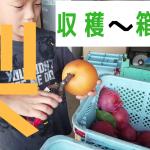 梨の収穫~箱詰めまでの流れ