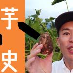 里芋の歴史・豆知識【しゅうたの畑便り】