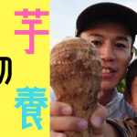 里芋の栄養、効果、効能【しゅうたの畑便り】