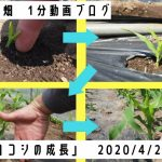 「トウモロコシの成長具合」
